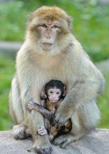 La Montagne des Singes mobilise les visiteurs pour la protection du macaque