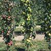 Des fruitiers sous toutes les formes