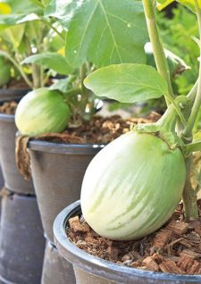 Les légumes adaptés à la culture en pot
