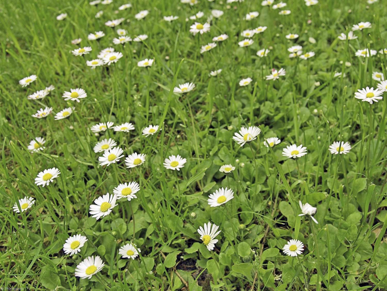 La pelouse et ses secrets de beaut lorraine magazine for Combien demander pour tondre la pelouse