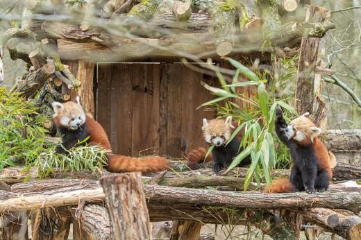 pandas roux - crédit photo Morgane Bricard Parc Animalier de Sainte-Croix (32)