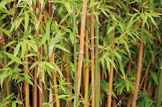 bamboo photo 1