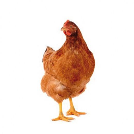 poule-pondeuse-gallus-gallus-domesticu