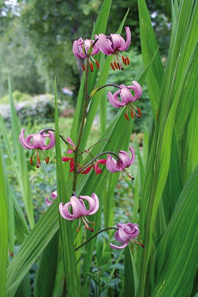 Lilium Martagon, naturalisé dans la rocaille du Jardin de Berchigranges