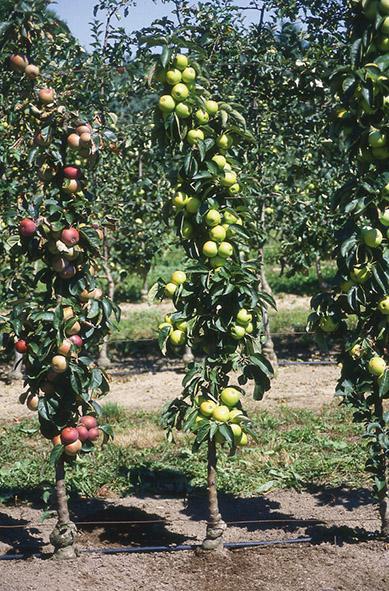Des fruitiers sous toutes les formes lorraine magazine - Arbre fruitier petite taille ...