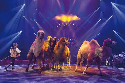 dromadaires-ou-chameaux-cirquearlettegruss