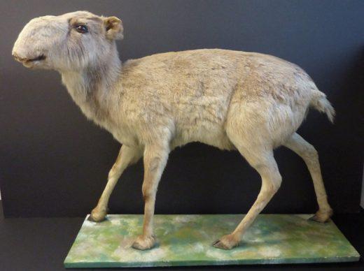 antilope-sai%cc%88gaman